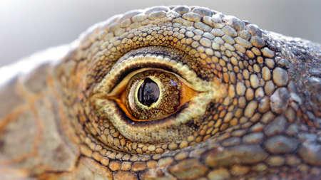 eye of a lizard close-up