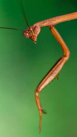 praying mantis on green background Archivio Fotografico