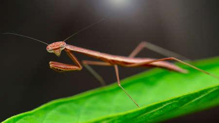 small praying mantis on a leaf Archivio Fotografico