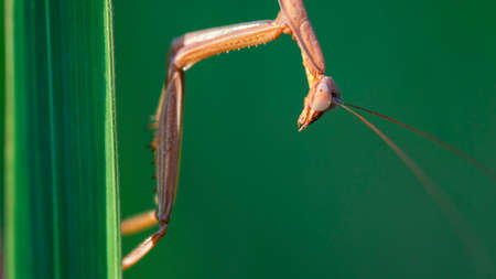 praying mantis hanging on a leaf Archivio Fotografico