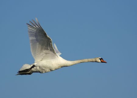 Flying Mute Swan in the  spring sky photo