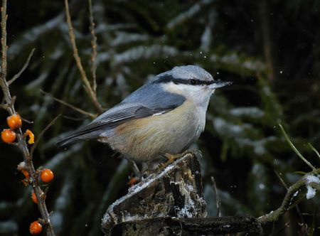 Nuthatch in winter forest provides plants corns photo