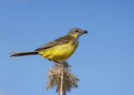 Yellow Wagtail and its prey                           photo