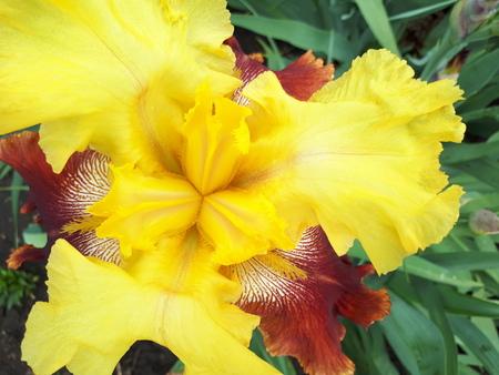 Flower yellow. Beautiful flowers irises, large-scale photographed.