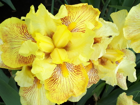 Flower yellow, large-scale photographed. Beautiful flowers irises