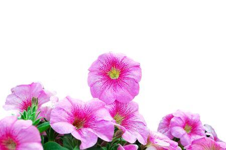 Pink Petunias Over White Background