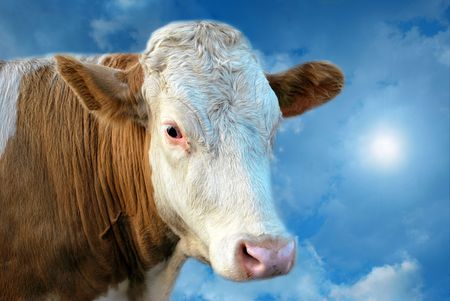 Dreamy cow on the cloud in mystical blue sky