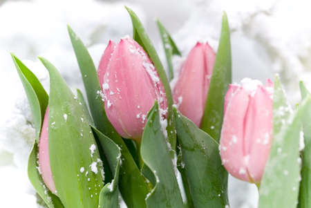 pink tulips: Snow covered pink tulips Stock Photo