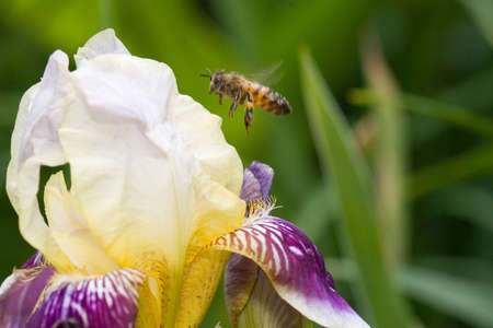 A honey bee hovers next to an iris