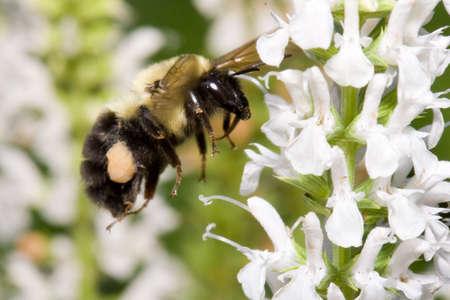 A bumble bee hovers next to some flowers Фото со стока - 903829