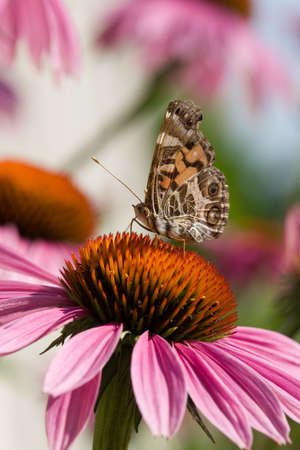 A butterfly drinks from the top of an echinacea photo