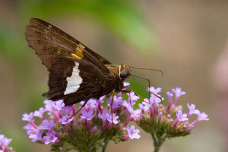 A butterfly drinks from tiny purple flowers photo
