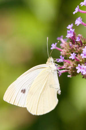 A yellow butterfly hangs and feeds from purple flowers photo