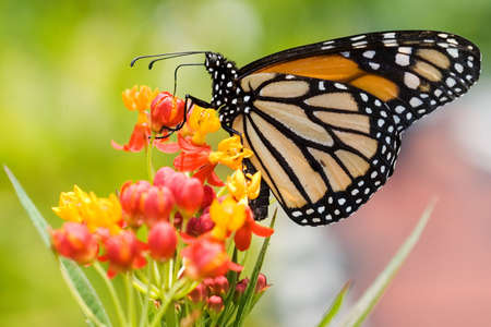 A monarch butterfly feeds from bright flowers