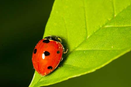 Ladybug sitting on a leaftip photo