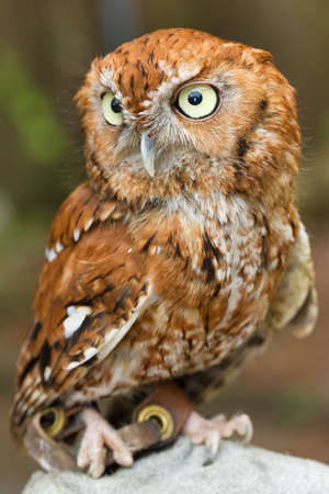 A western screech owl observes its surroundings photo
