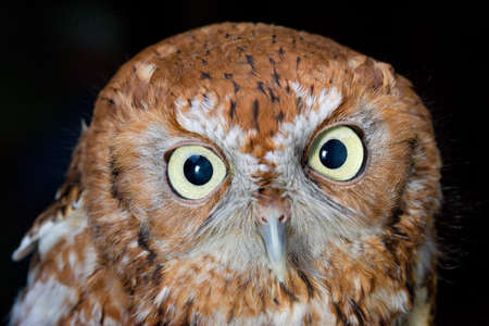 A western screech owl looks straight forward photo