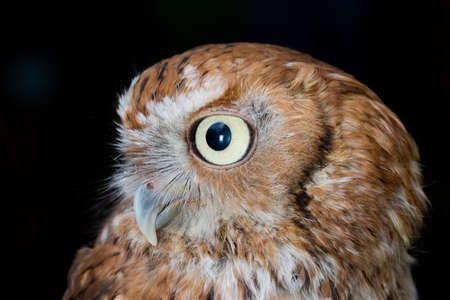 A western screech owl looks off to the side photo