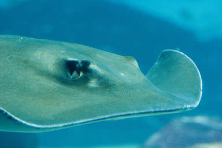 narinari: A sting ray swims through the water
