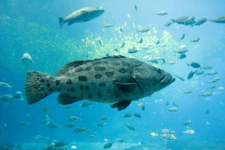A goliath grouper swims with other fish photo