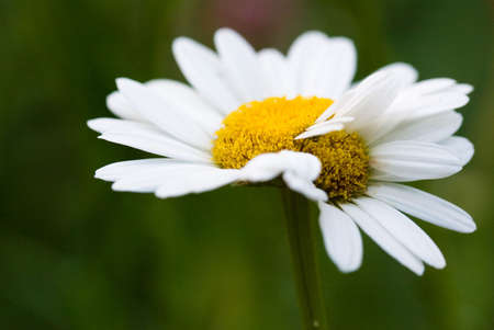 fused: Pair of daisies fused together and now inseparable