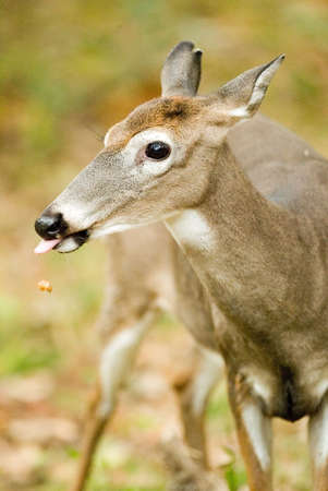 eats: A deer eats a nut as it drops from her mouth