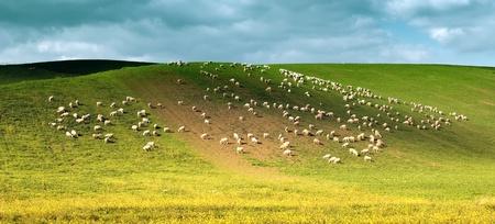 idillic landscape springtime scene with sheep