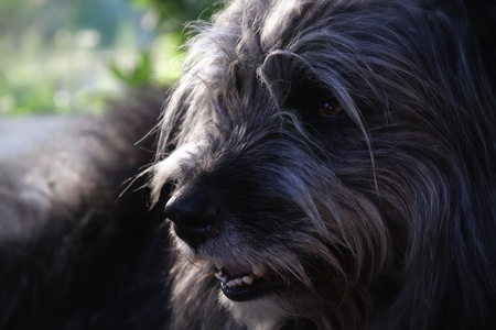 sheppard dog closeup