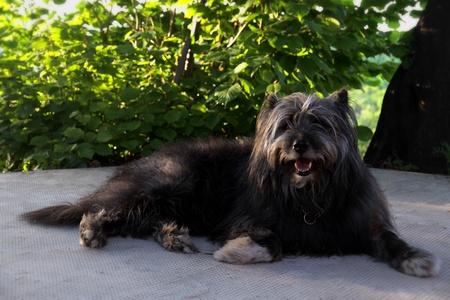 glimlachen sheppard hond