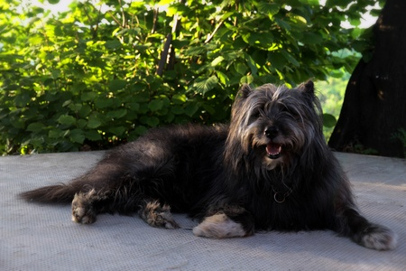 smiling sheppard dog
