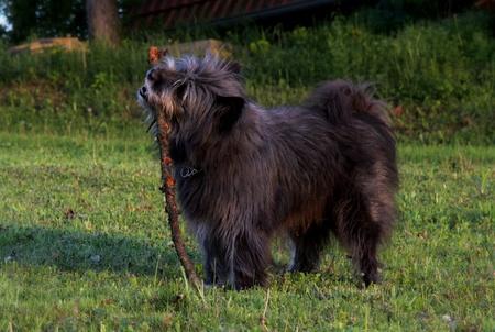 sheppard hond spelen met stok
