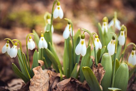 galanthus: showdrop flowers in the forest. Spring theme