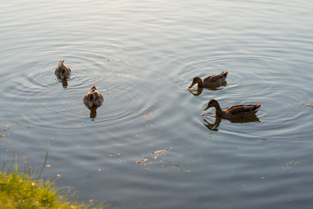 palmiped: four ducks swimming and feeding in the lake. Morning scene