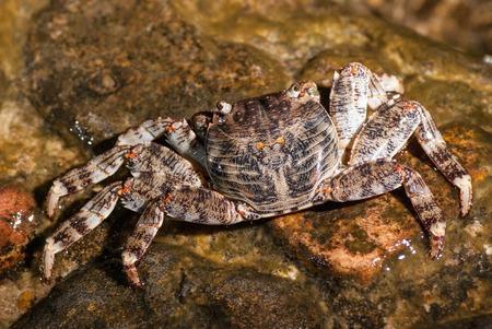 decapod: Wet sea crab sitting on the stone.