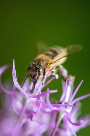 bee on flower: bee on the violet flower. with copyspace Stock Photo