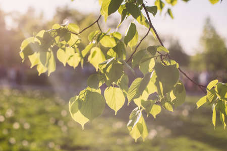 thorough: Leaves of linden tree lit  thorough by sun shining through summer. Background.