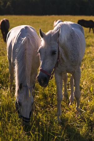 graze: couple of white horses graze in a paddock Stock Photo