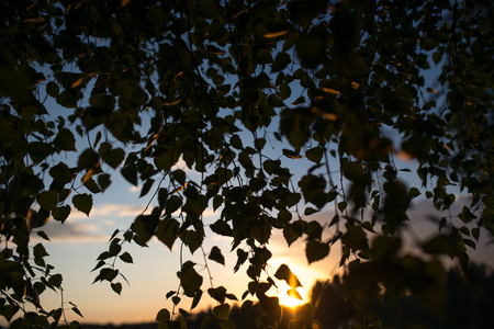 twiggy: Birch branches against a background of evening sky with clouds.