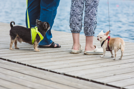 toyterrier: Two Funny dogs are enjoing walk against water background and legs of their owners.