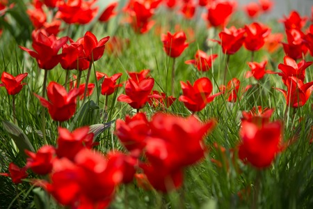 bulb fields: Group of red tulips in the park. Stock Photo