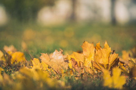 field maple: Yellow autumn Maple leaves on green grass. Bokeh blurred artistic background.