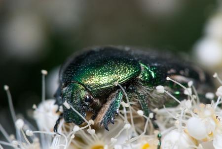 Green Chafer beetle on a white flower. Cetonia aurata extreme macro closeup shot. Stock Photo