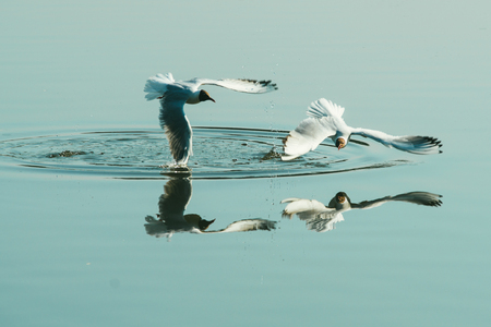 Couple of seagulls playing in the air near water lake river. Friends love concept
