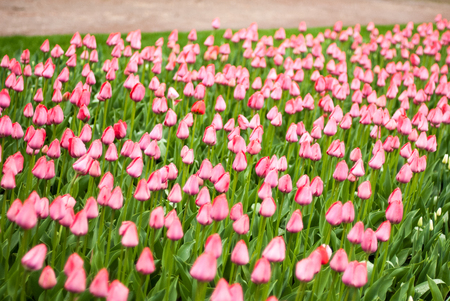 bulb fields: Close-up of pink tulips in a field of pink tulips