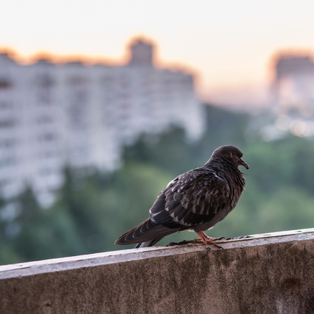 sick pigeon is sitting on the concrete balcone on the city blurred background with buildings and green forest Stock Photo