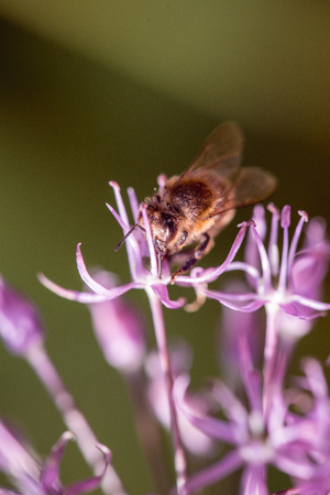 Bee collecting nectar on purple alum garlic flower. macro close-up. selective focus shot with shallow DOF