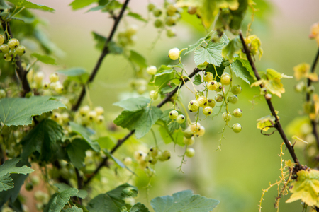 unripe red currants berries. Spring soft blurred bokeh background