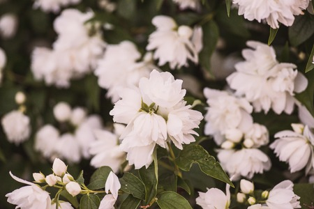 Jasmines bush with bright and fresh white blossom flowers