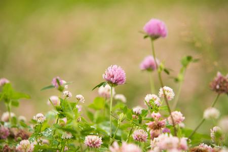 pink Flowering clover Trifolium pratense. selective focus macro shot with shallow DOF