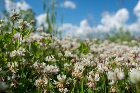 white clover wild meadow flowers in field over deep blue sky. Nature vintage summer autumn outdoor photo. Selective focus macro shot with shallow DOF Stock Photo